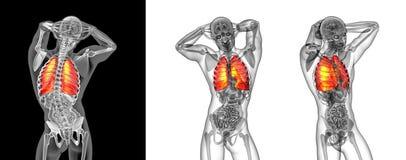 Pulmão humano Fotos de Stock