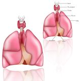 Pulmões, Thymus, larinx, glândula de tiróide Fotografia de Stock Royalty Free