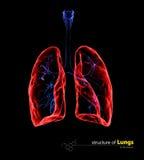 Pulmões transparentes do raio X, conceito médico ilustração 3D Fotos de Stock
