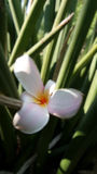 Plumeria under sun light Royalty Free Stock Photography