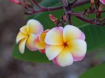 Pulmeria-Blüte von weißem Gelbem und rosa Stockfotografie