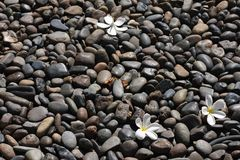 Pulmeria flower on black stones. Plumeria flower are well know in asian Royalty Free Stock Photos