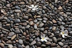 Pulmeria kwiat na czarnych kamieniach Zdjęcia Royalty Free