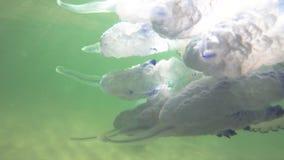 Pulmo de Rhizostoma de méduses de baril dans l'eau clips vidéos