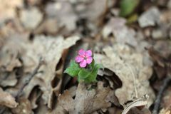 Pulmonar, flores da mola Foto de Stock