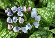 Pulmonaria « Roy Davidson » Image stock