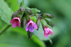 Pulmonaria Stock Photos