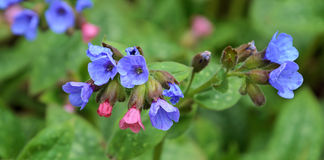 Pulmonaria Obrazy Royalty Free
