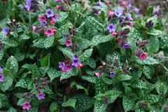 Pulmonaria around. Stock Photography