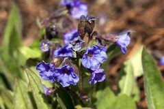 Pulmonaria `Blue Ensign`. A spring blue perennial flower plant commomly known as lungwort stock images