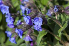 Pulmonaria `Blue Ensign`. A spring blue perennial flower plant commomly known as lungwort stock photography