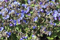 Pulmonaria `Blue Ensign`. A spring blue perennial flower plant commomly known as lungwort royalty free stock photo