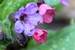 Pulmonaria - Closeup fotografering för bildbyråer
