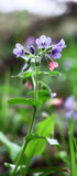 Pulmonaria and light. Royalty Free Stock Image
