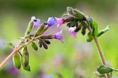 Pulmonaria longiflora flowers Royalty Free Stock Photo