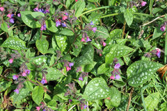 Pulmonaria of lungwort in bloem. Stock Afbeelding