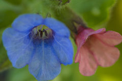 Pulmonaria lungwort Flowers Background Royalty Free Stock Photo