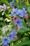 Pulmonaria (lungwort) purple flowers. Flowers of the blue and purple pulmonaria (lungwort) plant blooming in the spring Stock Images