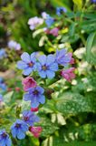 Pulmonaria (lungwort) purple flowers. Flowers of the blue and purple pulmonaria (lungwort) plant blooming in the spring Royalty Free Stock Image