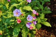 Pulmonaria (lungwort) purple flowers. Flowers of the blue and purple pulmonaria (lungwort) plant blooming in the spring Stock Image
