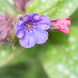 Pulmonaria Royalty Free Stock Photo