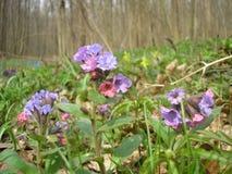 Pulmonaria obscura. In the Black Forest (Central Ukraine Stock Photo
