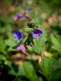 Pulmonaria obscura - unspotted lungwort or Suffolk Lungwort Stock Photo