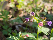Pulmonaria obscura - unspotted lungwort or Suffolk Lungwort Stock Images