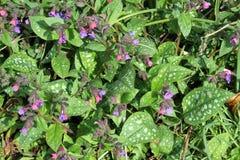 Pulmonaria oder lungwort in der Blume. Stockbild