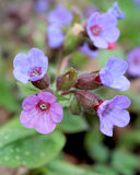 Pulmonaria officinalis Fotografia Stock