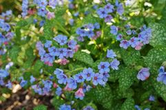 Pulmonaria (płucnik) purpura kwitnie zdjęcie stock