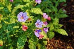Pulmonaria (płucnik) purpura kwitnie obraz stock