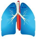 Pulmones Fotos de archivo libres de regalías