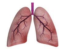 Pulmones Imagen de archivo