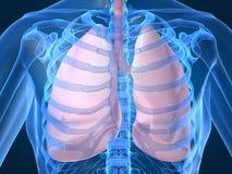 Pulmones Foto de archivo libre de regalías