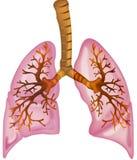 Pulmones Imagen de archivo libre de regalías