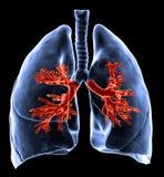 Pulmones con los bronquios visibles Foto de archivo