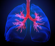Pulmones con los bronquios visibles Imagen de archivo