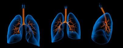 Pulmones con los bronquios visibles Fotografía de archivo libre de regalías