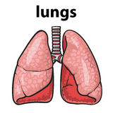 Pulmones de un chitsye sano de la persona