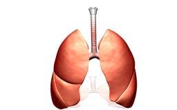 Pulmones humanos Fotografía de archivo