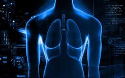 Pulmones humanos Imagen de archivo libre de regalías