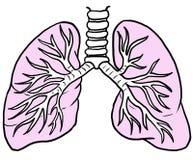 Pulmones humanos con color rosado, dibujo lineal Fotos de archivo libres de regalías