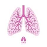 Pulmones humanos con el árbol bronquial Imágenes de archivo libres de regalías