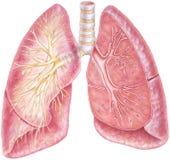 Pulmones - mostrar la tráquea y el árbol bronquial Imagen de archivo