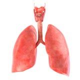 Pulmones sobre el fondo blanco Anatómico exacto rinda Imagen de archivo
