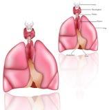 Pulmones, timo, larinx, glándula de tiroides Fotografía de archivo libre de regalías