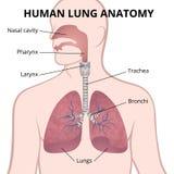Pulmones, tráquea y nasopharynx humanos Fotos de archivo