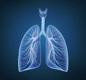 Pulmones y bronquios humanos Imagen de archivo