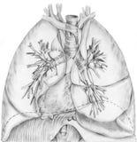 Pulmones y sistema bronquial Imagen de archivo